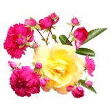 Pink rose flowers twig isolated Royalty Free Stock Photos