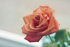 Pink Rose Focus Photo Royalty Free Stock Photo