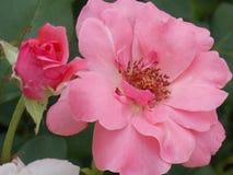Pink rose. Focused pink rose in garden Royalty Free Stock Photos
