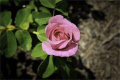 Pink rose found on a hiking trail during summer Royalty Free Stock Photo