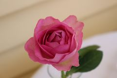 Pink rose - fresh start of the day royalty free stock photography
