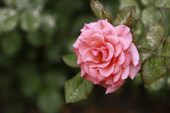 Pink rose. In full bloom Stock Image