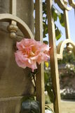 Pink rose in full bloom on a gold colour gate in the sunshine Stock Photo