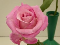 Pink rose in full bloom with green pot and stem in background. Beautiful pink rose flower head in full bloom with green pot and stem in background stock photos