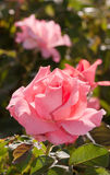 Pink rose in full bloom Stock Photos