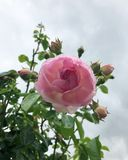 Pink Rose in Full Bloom in Summer stock photography