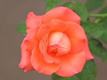 Pink rose. stock photography