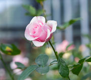 Pink Rose. In the garden Royalty Free Stock Image