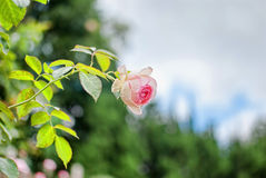 Pink rose. In the garden Stock Photography