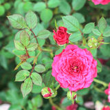 Pink rose in the garden Royalty Free Stock Photos