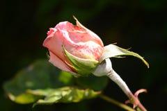 Pink rose. Pink garden rose Stock Images
