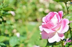 Pink rose in a garden. Stock Photo
