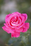 Pink rose in the garden Royalty Free Stock Photography