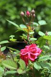 Pink rose in the garden Royalty Free Stock Images