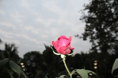 A pink rose in garden stock photos