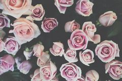 Pink rose in garden. blooming flower. flora bouquet. Romantic concept Stock Photography