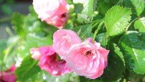 Pink rose in the garden. Blossom outdoors stock video