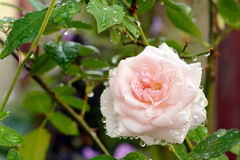 Pink rose in a garden. Pink rose blossoms in a garden after rain Royalty Free Stock Images