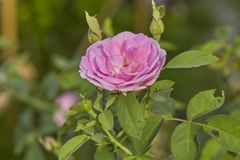 Pink Rose in the Garden. Pink Rose on the Branch in the Garden. soft focus stock photography
