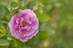 Pink Rose in the Garden. Pink Rose on the Branch in the Garden. soft focus stock photo