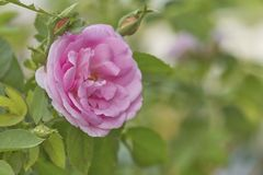 Pink Rose in the Garden. Pink Rose on the Branch in the Garden. soft focus stock image