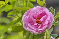 Pink Rose in the Garden. Pink Rose on the Branch in the Garden. soft focus royalty free stock images