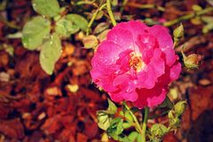Pink rose in the garden. Stock Image