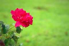 Pink rose in the garden. Stock Photography