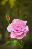 Pink rose on a garden Royalty Free Stock Image
