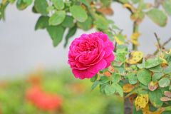Pink rose in the garden. Close up Pink rose in the garden royalty free stock photo