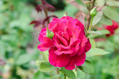 Pink Rose Garden Stock Images