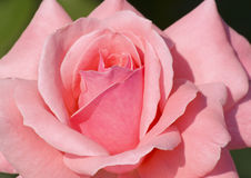 Pink rose in garden Stock Images