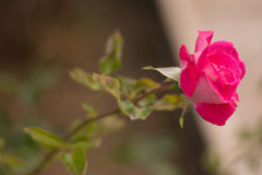 Pink rose in the garden Stock Image
