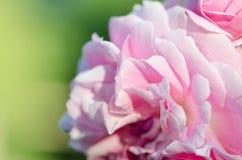 Pink rose in garden Royalty Free Stock Image