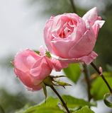 Pink rose in a garden Royalty Free Stock Photo