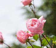 Pink rose in a garden Royalty Free Stock Images