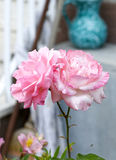 pink rose in a garden Royalty Free Stock Photography