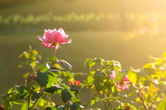 Pink Rose. In the garden of Doi Tung, Thailand Stock Photo