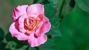 Pink rose in the garden. Pink flower in the garden Royalty Free Stock Photo