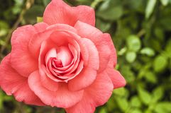 Pink rose in the garden foto. Background,beautiful,beauty,bloom,blossom,closeup,flora,floral,flower,foto,fresh,garden,green,nature,pink,pink roses,plant,red,rose royalty free stock photography