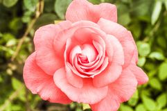 Pink rose in the garden foto. Background,beautiful,beauty,bloom,blossom,closeup,flora,floral,flower,foto,fresh,garden,green,nature,pink,pink roses,plant,red,rose royalty free stock photos