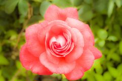 Pink rose in the garden foto. Background,beautiful,beauty,bloom,blossom,closeup,flora,floral,flower,foto,fresh,garden,green,nature,pink,pink roses,plant,red,rose royalty free stock images