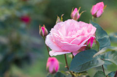 Pink rose in the garden. Pink rose growing in a green garden royalty free stock images