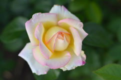 Pink rose in the garden. Royalty Free Stock Image