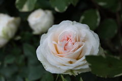 Pink Rose in Garden. Natural pretty pink rose flower in Garden with green leaf. This beautiful famous flower is easy to grow. It is the most popular flower for Stock Photo