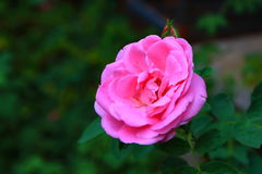 Pink Rose in garden stock photography