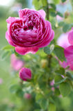 Pink rose in garden Stock Image