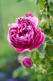Pink rose in garden Royalty Free Stock Photography