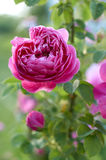 Pink rose in garden Royalty Free Stock Photo