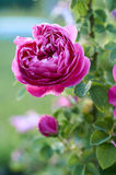 Pink rose in garden. Shallow depth of field; Focus on center of flower Royalty Free Stock Photos